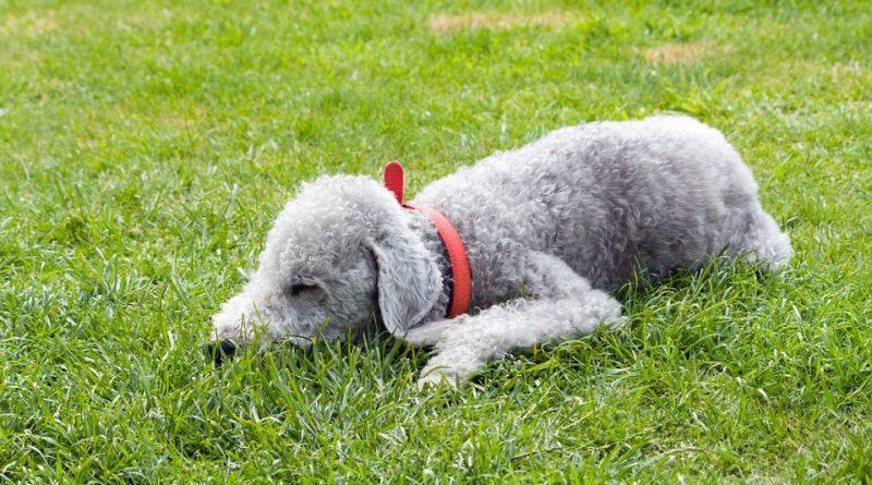 Bedlington terrier 1