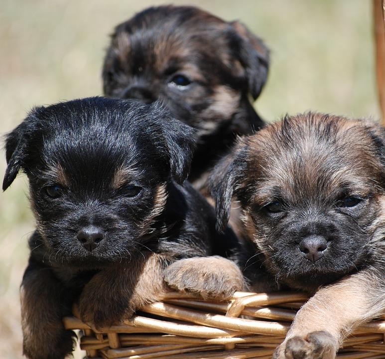 Border terrier 1