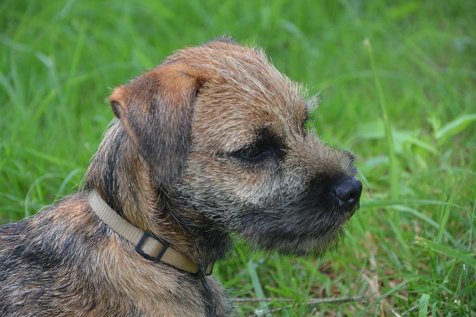 Border terrier 3