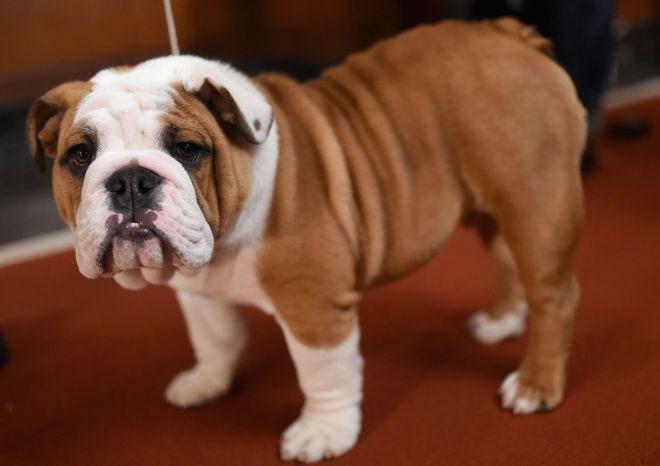 Bulldog apariencia