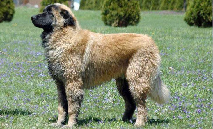 cao serra estrela perro