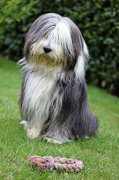 Collie barbudo perro