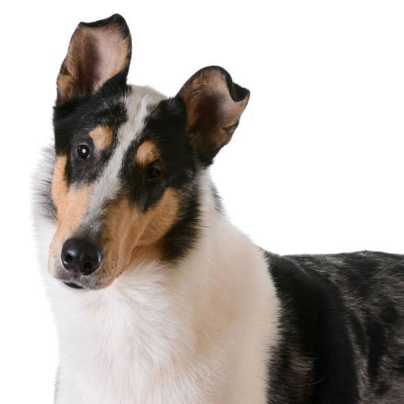 collie de pelo corto perro