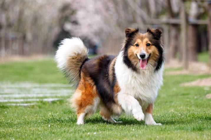Collie de pelo largo perro