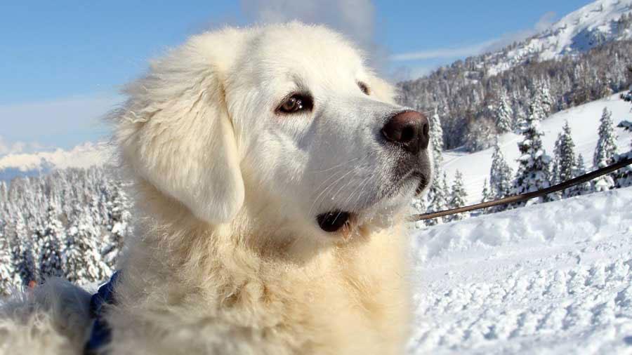cuvac eslovaco perro
