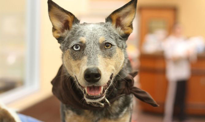 Pastor ganadero australiano perro