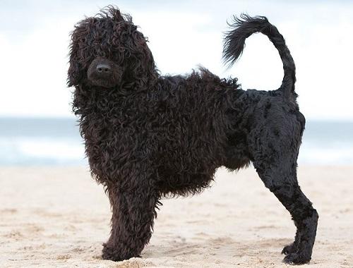 Cão de água portugués