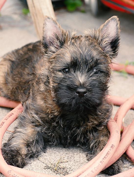 Cairn terrier 2