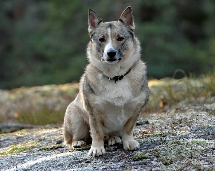 Característica del vallhund sueco