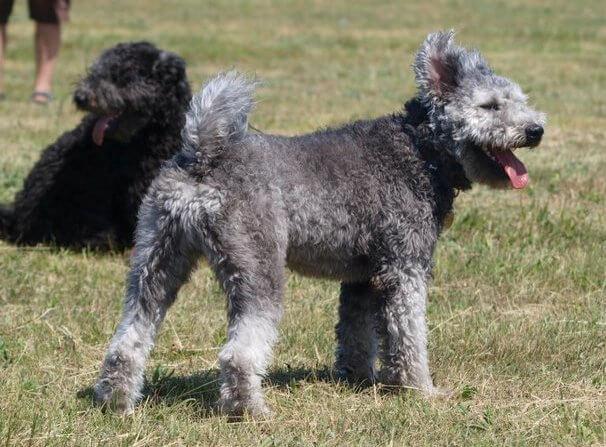 Características de la raza de perro pumi