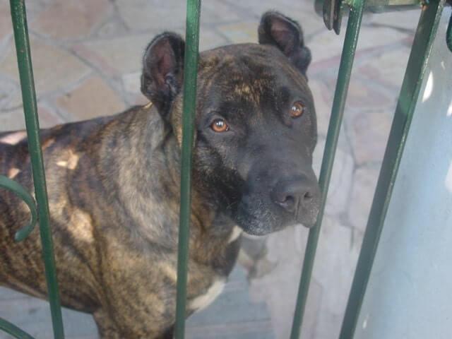 Características del perro cimarrón uruguayo