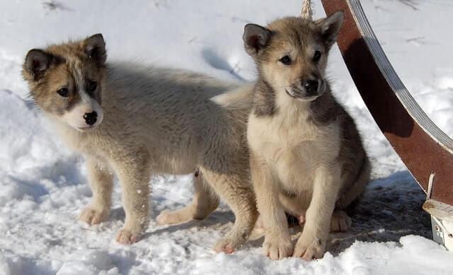 Características del perro de Groenlandia