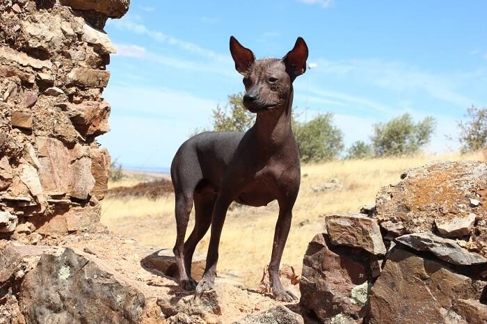 Características del perro sin pelo del Perú