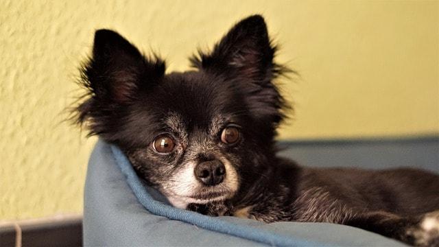 Cuidados del Chihuahua