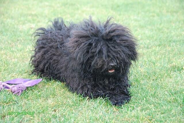 Cuidados de la razas de perro puli