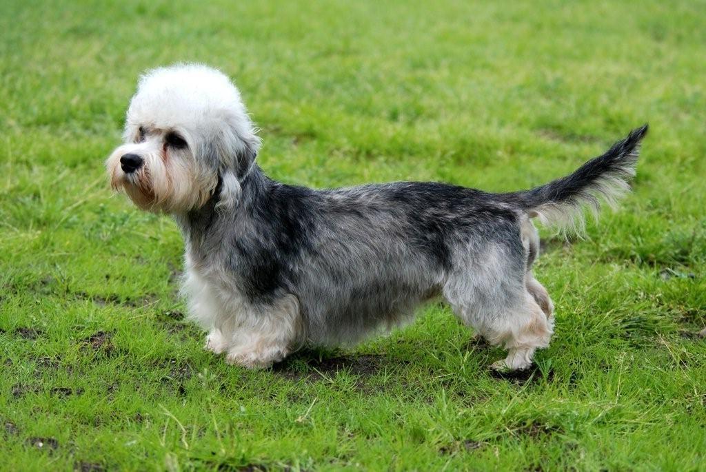 Dandie Dinmont terrier 1