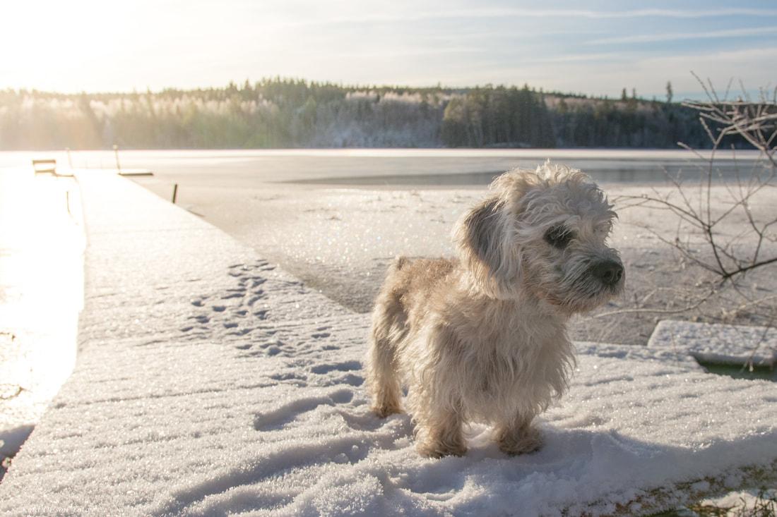 Dandie Dinmont terrier 3