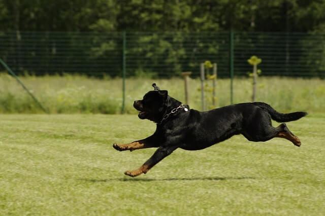 Educación y adiestramiento del Rottweiler