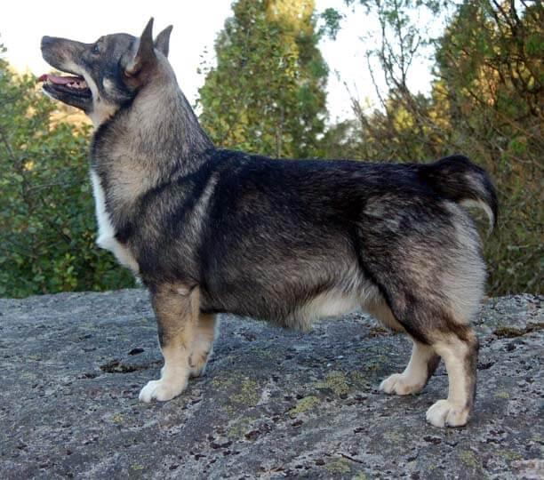 Entrenamiento del vallhund sueco