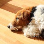 Fox terrier 1