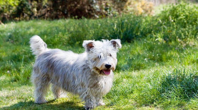 Glen of Imaal Terrier 1