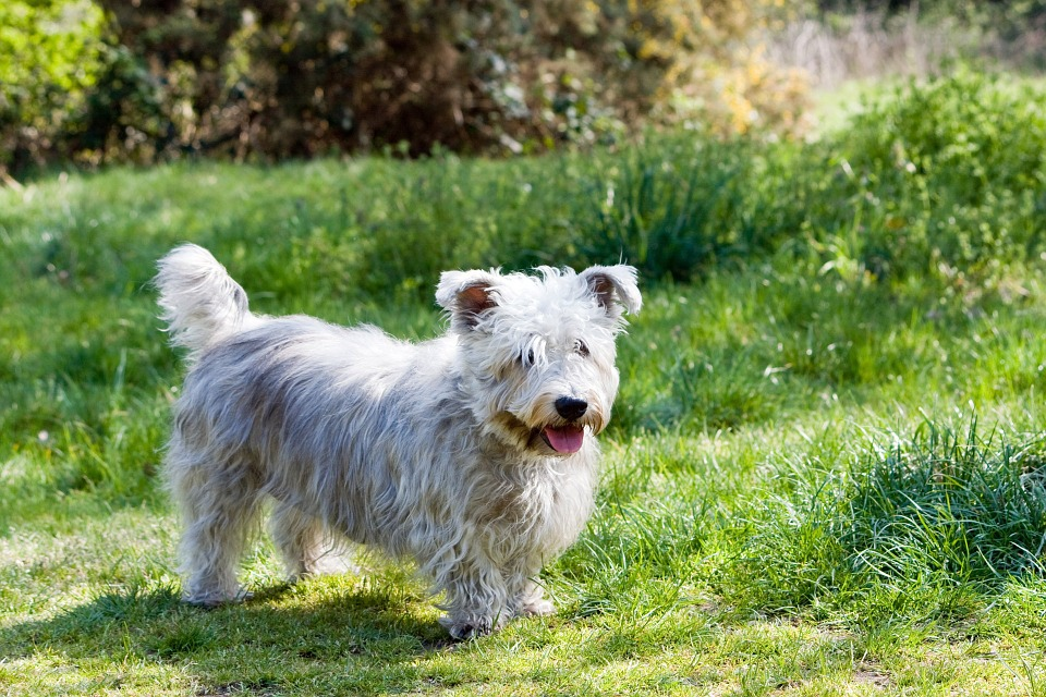 Glen of Imaal Terrier 1