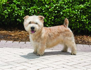 Glen of Imaal Terrier 3