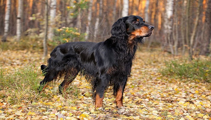 Gordon setter perro