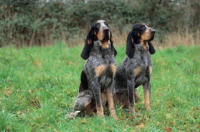 Gran sabueso azul de Gascuña perro