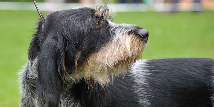 Grifón azul de Gascuña perro
