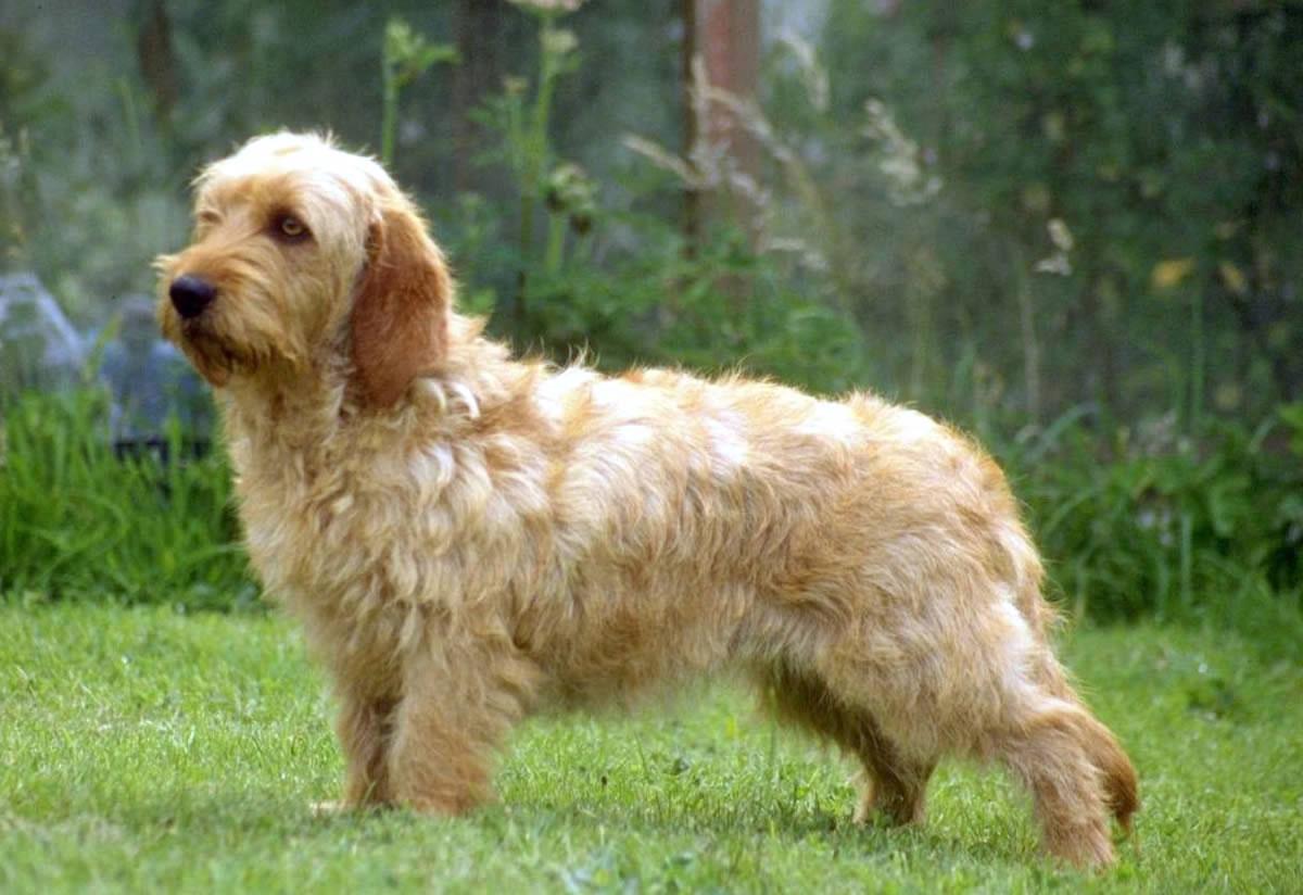 Grifón leonado de Bretaña perro