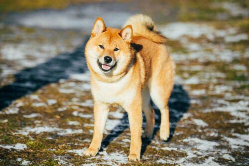 hokkaido perro