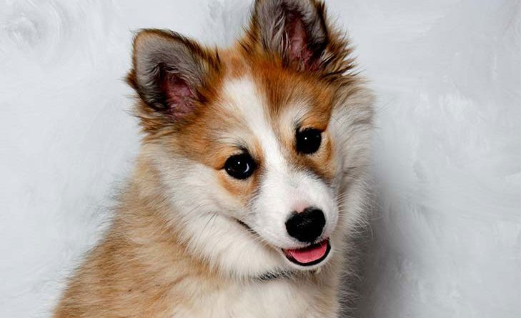 Lundehund perro