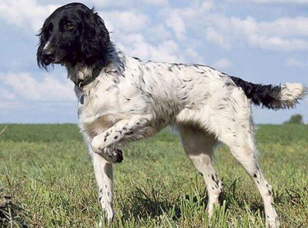 Münsterländer grande perro