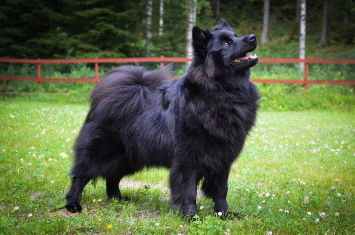 Pastor lapón de Suecia perro