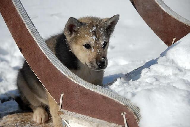 Pelaje de los perros de Groenlandia