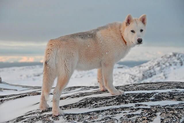 Perro de Groenlandia