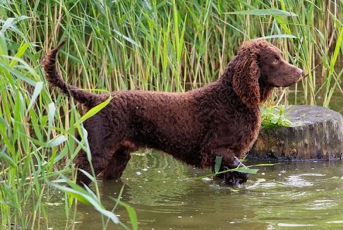 Perro de agua americano