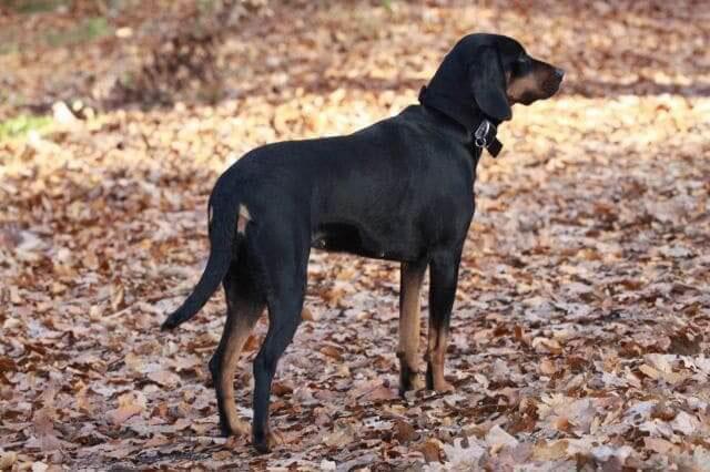 Perro de caza polaco
