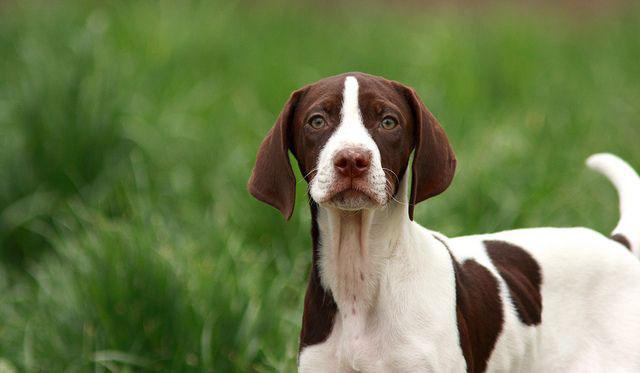 Pointer inglés perro