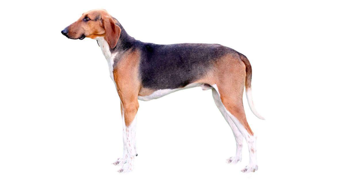 Poitevino perro