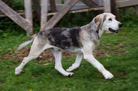 Sabueso de Dunker perro