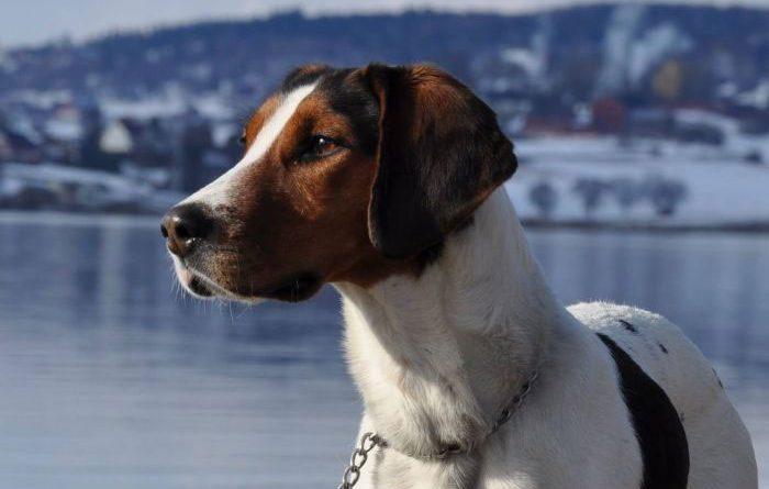 Sabueso de Halden perro