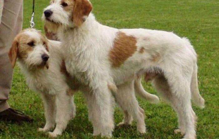 Sabueso de Istria de pelo duro perro