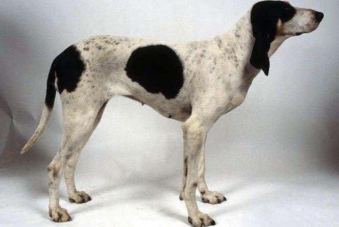Sabueso del Ariège perro
