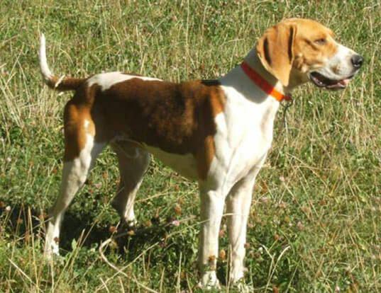 Sabueso francés blanco y naranja perro