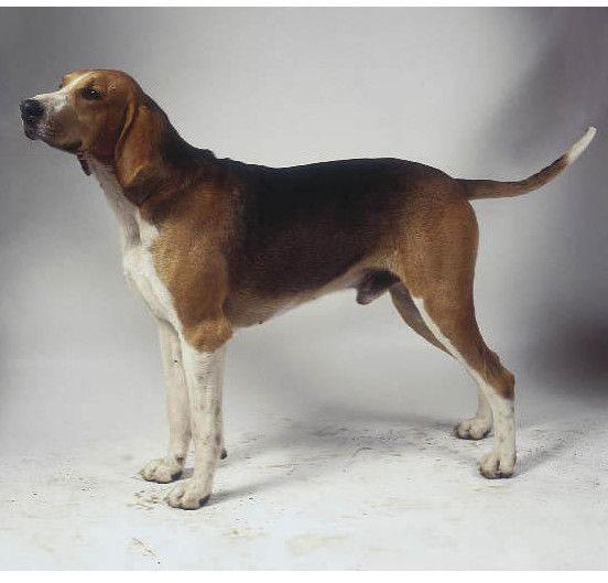 Sabueso francés tricolor perro