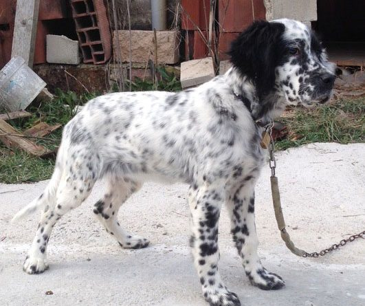 Setter inglés perro