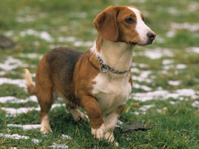 Tejonero de Westfalia perro