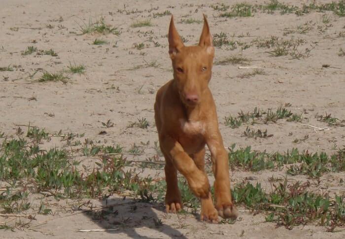 Temperamento del pharaoh hound